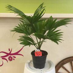 Магазин цветов Прекрасная садовница Ливистона