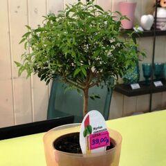 Магазин цветов Прекрасная садовница Мирт (на штамбе)