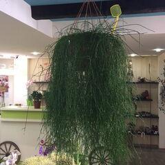 Магазин цветов Прекрасная садовница Крупномерное комнатное растение «Рипсалис»