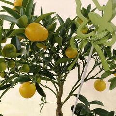 Магазин цветов Прекрасная садовница Цитрусовое комнатное дерево «Мандариновое»