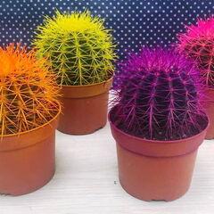Магазин цветов Прекрасная садовница Комнатное растение «Эхинокактус в ассортименте»