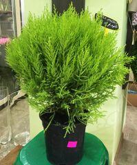 Магазин цветов Прекрасная садовница Хвойное растение «Кипарисовик (купрессус)»