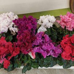 Магазин цветов Прекрасная садовница Цикламен в ассортименте
