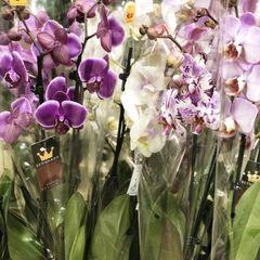 Магазин цветов Прекрасная садовница Орхидея (фаленопсис) 2 ветки в ассортименте
