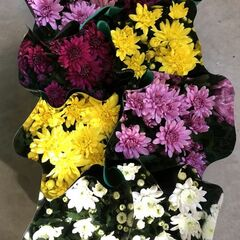 Магазин цветов Прекрасная садовница Хризантема кустовая в горшке микс