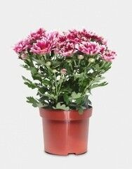 Магазин цветов Florita (Флорита) Хризантема (Chrysánthemum)