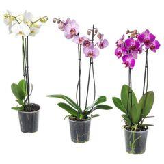 Магазин цветов Фурор Орхидея «Фаленопсис»