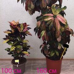 Магазин цветов Прекрасная садовница Крупномерное комнатное растение «Кодиеум 160 см»