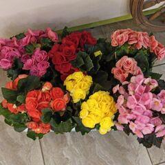 Магазин цветов Прекрасная садовница Бегония микс