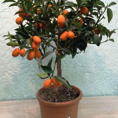 Магазин цветов Прекрасная садовница Апельсиновое дерево с плодами