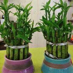 Магазин цветов Прекрасная садовница Экзотическое комнатное растение «Бамбук Лаки в керамике»