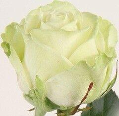 Магазин цветов Долина цветов Роза Аваланж 20 см