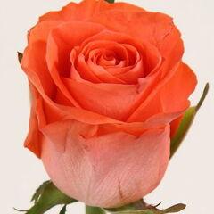 Магазин цветов Долина цветов Роза «Вау»