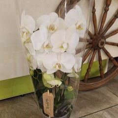 Магазин цветов Прекрасная садовница Орхидея (фаленопсис) на перголе, 2 ветки