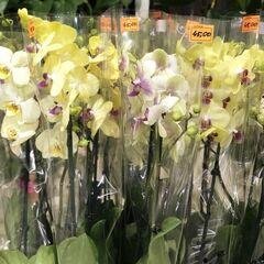 Магазин цветов Прекрасная садовница Орхидея (фаленопсис) 2 ветки