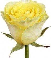 Магазин цветов Florita (Флорита) Роза ILIOS (Илиос) 60 см