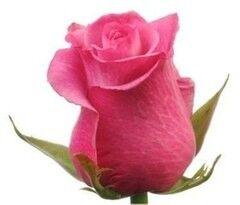 Магазин цветов Florita (Флорита) Роза DEEP WATER (Дип Вотер) 60 см