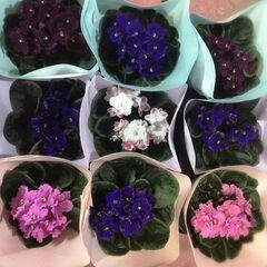 Магазин цветов Прекрасная садовница Фиалка микс