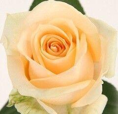 Магазин цветов Долина цветов Роза Пич
