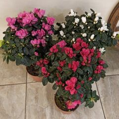 Магазин цветов Прекрасная садовница Азалия на штамбе (Рододендрон) в асортименте