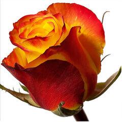 Магазин цветов Долина цветов Роза «Хай Меджик»
