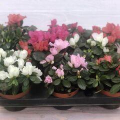 Магазин цветов Прекрасная садовница Азалия в ассортименте