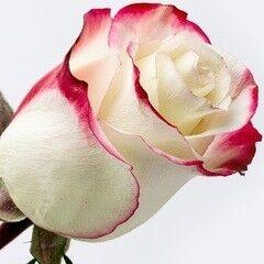 Магазин цветов Долина цветов Роза Свитнесс