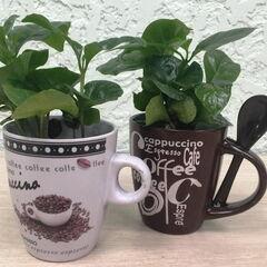 Магазин цветов Прекрасная садовница Экзотическое комнатное растение «Кофе арабика в чашке»