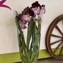 Магазин цветов Прекрасная садовница Орхидея Мильтония