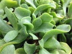 Магазин цветов Stone Rose Крассула Arborescens Curly Grey